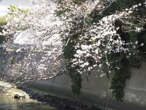 24の桜3.jpg