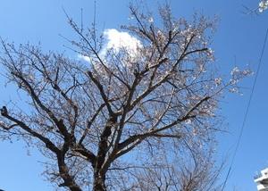 24の桜4.jpg