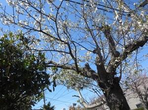 24日の桜2.jpg