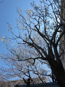 24日の桜5.jpg