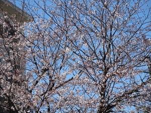 24日の桜6.jpg