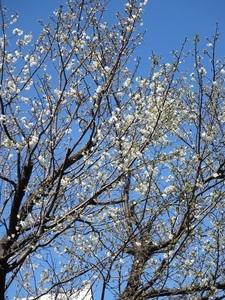 24日の桜7.jpg