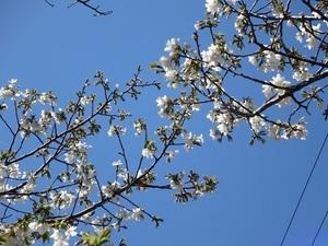 24日の桜1.jpg