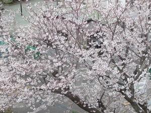 我が家でお花見3.jpg