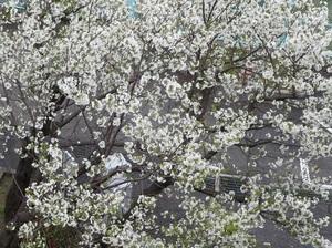 我が家でお花見4.jpg